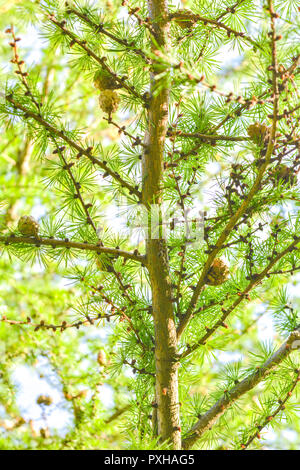 Sprig of European Larch or Larix decidua with pine cones on blurred background. Branch of Larch - Stock Photo