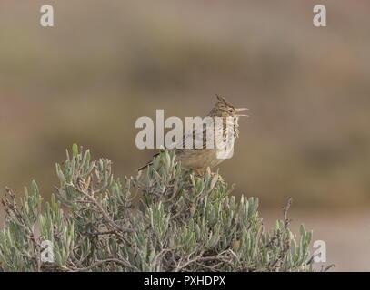 Crested lark, Galerida cristata, singing perched on bush in saltmarsh in spring, Portugal. - Stock Photo