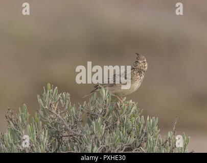 Crested lark, Galerida cristata, perched on bush in saltmarsh in spring, Portugal. - Stock Photo