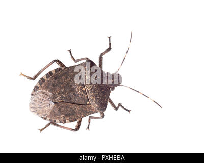 Brown marmorated stink bug Halyomorpha halys, an invasive species from Asia. Isolated on white. - Stock Photo