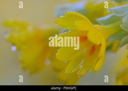 Macro shot of a common cowslip (primula veris) flower in bloom - Stock Photo