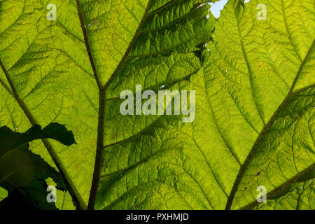 Giant leaves of Gunnera manicata, commonly known as giant rhubarb. Every part of the huge plant has spiky thorns. Close up photo shows leaf structure. - Stock Photo