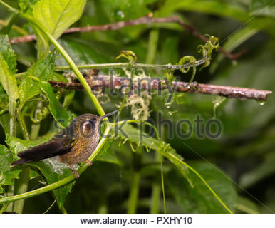 diminutive speckled hummingbird perched on branch in Ecuador cloud forest. - Stock Photo