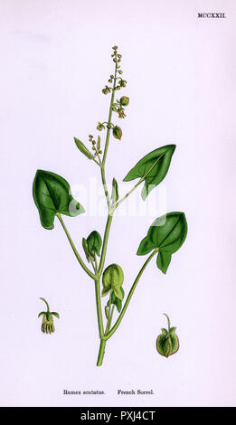 common name : FRENCH SORREL       Date: 1868 - Stock Photo