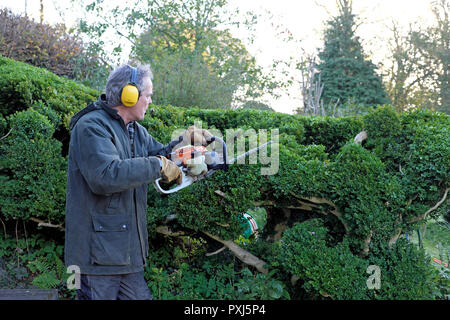 Man wearing ear protection against noise sound trimming hedge with hedge trimmer in autumn garden in Carmarthenshire Wales UK  KATHY DEWITT - Stock Photo