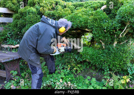 Man wearing ear protectors trimming hedge with hedge trimmer in autumn garden in Carmarthenshire Wales UK  KATHY DEWITT - Stock Photo
