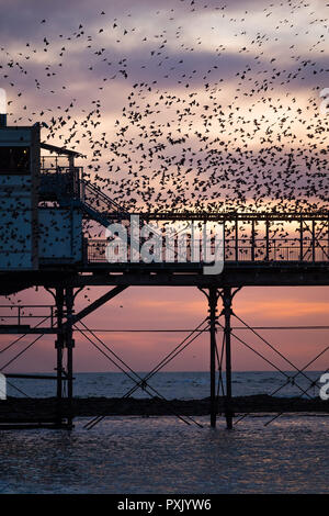 UK Weather: Tens of thousands of tiny starlings perform elegant aerial balletic 'murmurations' in the sky above Aberystwyth, before swooping down to roost for the night on the forest  of cast iron legs underneath the town's Victorian seaside pier. Aberystwyth is one of the few urban roosts in the country and draws people from all over the UK to witness the nightly displays  photo credit Keith Morris/ Alamy Live News - Stock Photo