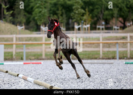Young purebred friesian foal posing on race track outdoors - Stock Photo