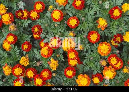 Marigold 'Super Hero Spry' (Tagetes patula) flowers in display garden at Agriculture building on University of Saskatchewan campus, AAS award winner