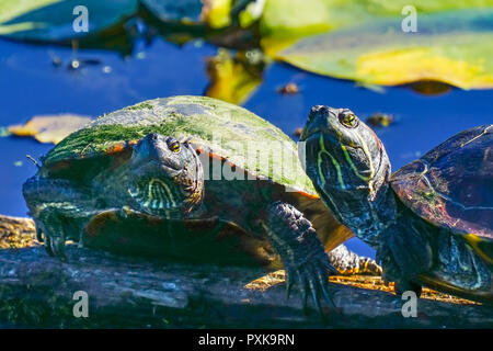 Western Painted Turtles Chrysemys picta Green Lily Pads Juanita Bay Park Lake Washington Kirkland Washiington - Stock Photo