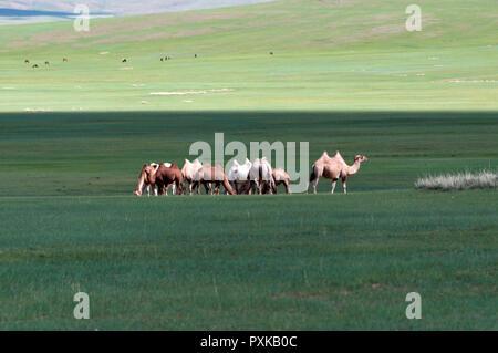 Bactrian camels grazing on the steppe, Övörkhangai, Mongolia - Stock Photo