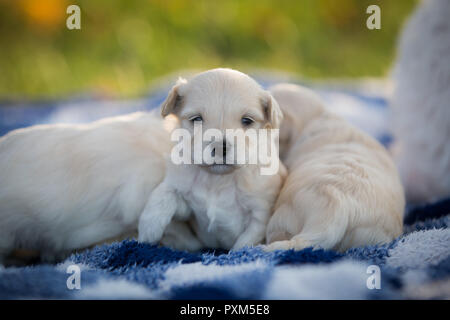 Adorable little puppies snuggling on a blue and white checkered blanket - Stock Photo
