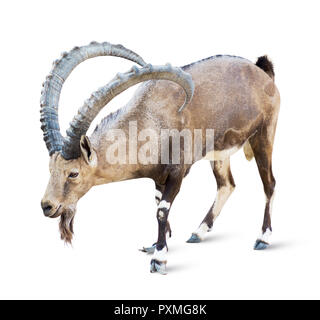 Alpine Ibex isolated on white background, Young alpine ibex male on the top of the mountain isolated on white background - Stock Photo