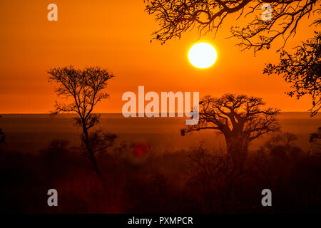 Baobab tree in sunrise landscape in Kruger National park, South Africa ; Specie Adansonia digitata family of Malvaceae - Stock Photo