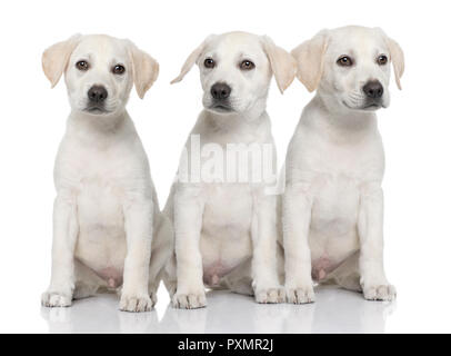 dogs, Three cream Labrador retriever puppies sitting in a row, in front of white background and facing the camera - Stock Photo