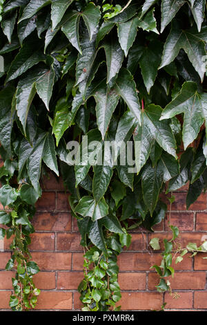 Reddish brown brick wall background with lush Boston ivy leaves cascading down from above (vertical image) - Green walls and buildings - Stock Photo