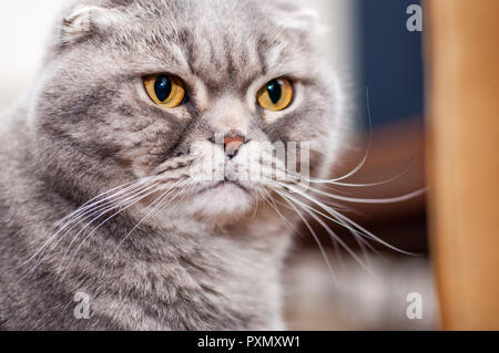 The Scottish Fold is a breed of domestic cat with a natural dominant-gene mutation that affects cartilage throughout the body, causing the ears to fol - Stock Photo