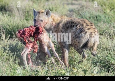 Spotted Hyena (Crocuta crocuta) with killed blue wildebeest (Connochaetes taurinus) calf, looking back, Ngorongoro conservation area, Tanzania. - Stock Photo