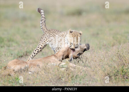 Cheetah (Acinonyx jubatus) cub killing a just by the mother hunted blue wildebeest (Connochaetes taurinus) calf, Ngorongoro conservation area, Tanzani - Stock Photo