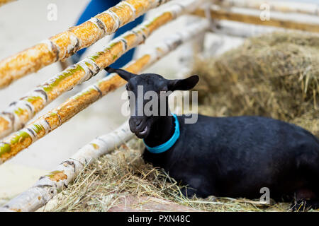Black goat in on dry grass behind a wooden fence. Concept of farm and agriculture - Stock Photo