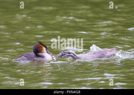 Detailed, landscape close up of adult great-crested grebe feeding a fish to one hungry, greedy, single chick (Podiceps cristatus) in freshwater lake. - Stock Photo