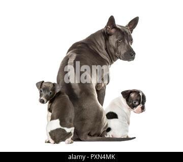 Boston terrier, Rhodesian ridgeback, Italian Greyhound puppy, in front of white background - Stock Photo
