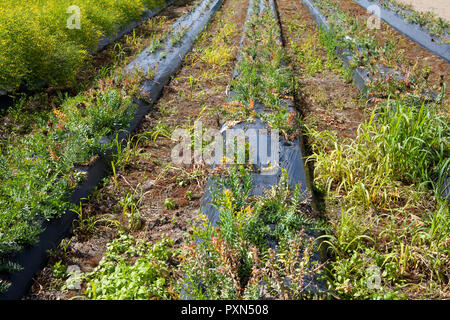 Green manure on an Asparagus field, Muensterland; Germany, Europe - Stock Photo
