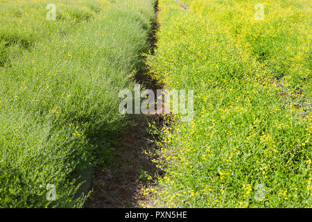 Melilotus as green manure on an Asparagus field, Muensterland; Germany, Europe - Stock Photo