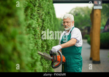 Older handsome gardener trimming white cedar using patrol hedge trimmer in garden. Cheerful gray haired bearded man wearing in special green overalls and protective glasses, cutting bushes near house. - Stock Photo