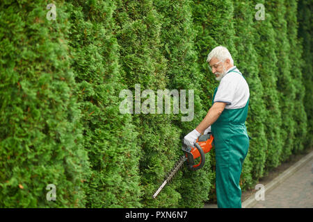 Gray haired bearded male gardener, wearing in special green overalls and protective glasses, cutting bushes of white cedar near house. Adult man landscaping bushes with petrol hedge cutter. - Stock Photo