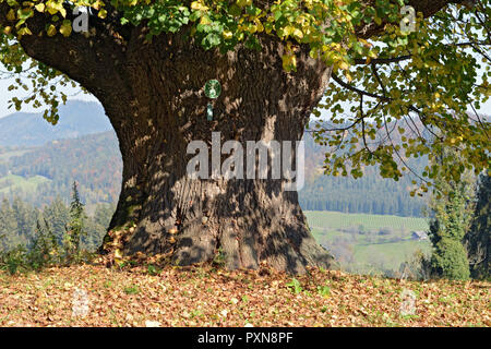 400 YEARS OLD LIME TREE . 400 JAHRE ALTE LINDE - Stock Photo