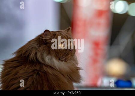 Siberian cat portrait looking at you - Stock Photo