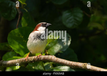 House sparrow standing on a tree branch - Stock Photo