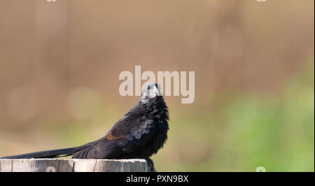 Ani bird sitting on a tree stump looking at the camera - Stock Photo