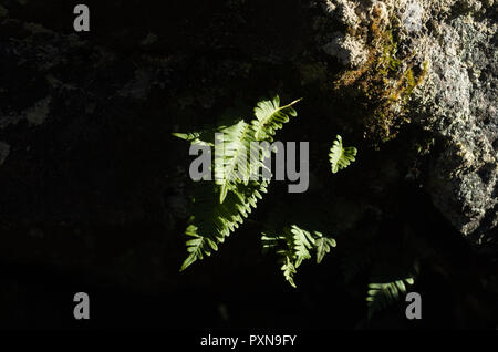 Small clump of small ferns growing inverted on ceiling of small cavern. - Stock Photo
