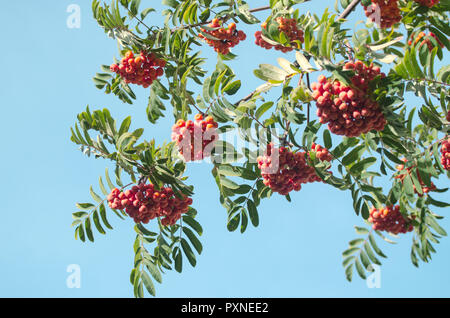 Red Rowan berries on a branch. Ripe mountain ash in autumnal tree against blue sky. Fall seasonal background. - Stock Photo