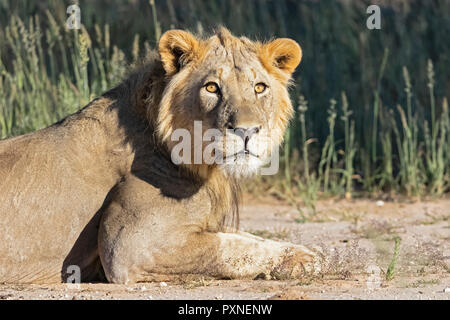 Botswana, Kgalagadi Transfrontier Park, young male lion, Panthera leo - Stock Photo