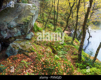 Gristone boulder and autumn birch trees by Guisecliff Tarn in Guisecliff Wood Pateley Bridge North Yorkshire England - Stock Photo