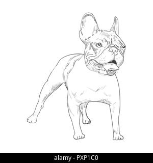 French bulldog hand drawn sketch isolated on white background.   Purebred dog artistic outline illustration. - Stock Photo