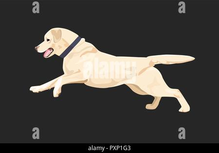 Labrador dog is running happily. Labrador retriever with collar isolated on dark background. - Stock Photo