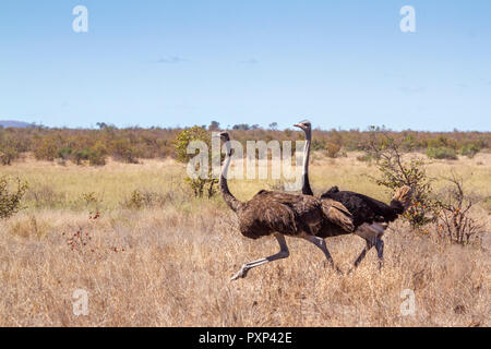 African Ostrich in Kruger National park, South Africa ; Specie Struthio camelus family of Struthionidae - Stock Photo