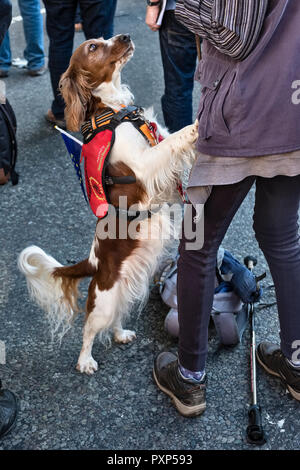 London, UK, October 20th 2018. 700,000 marchers demonstrate for a second Brexit referendum. An assistance dog wearing an EU flag - Stock Photo