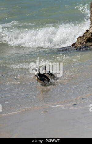 African Penguin, Boulders Beach, Simons Town, South Africa - Stock Photo