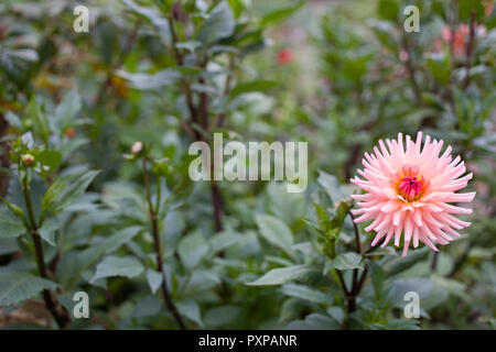 Pink dahlia first to bloom - Stock Photo