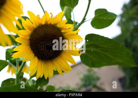 Bee flying towards big riping sunflower - Stock Photo