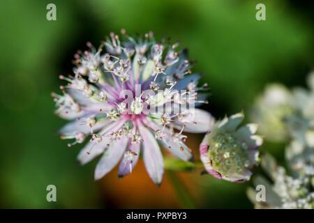 The flowers of a greater masterwort (Astrantia major)//////// - Stock Photo