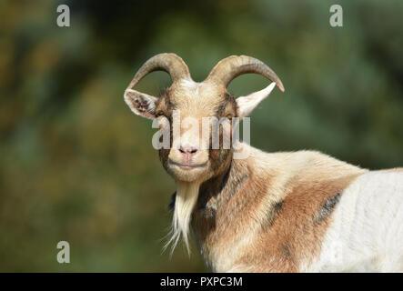 Billy Goat / Male Goat - Stock Photo