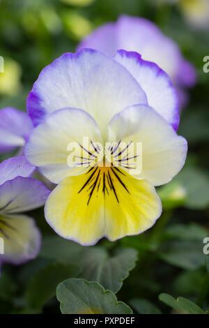 Viola 'Special Coconut Swirl' - Stock Photo