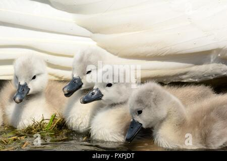 Close up of mute swan cygnets in their water with their mother - Stock Photo