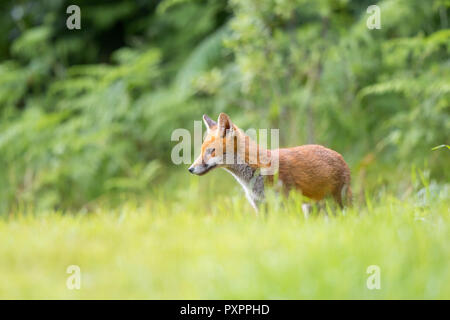 Detailed, close-up side view of young, wild, British red fox (Vulpes vulpes) standing isolated in long grass in outdoor natural UK countryside habitat. - Stock Photo